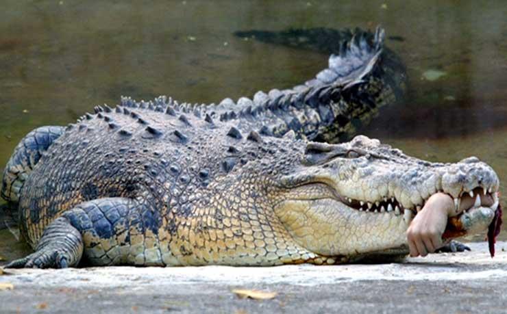 Crocodile-1421305534