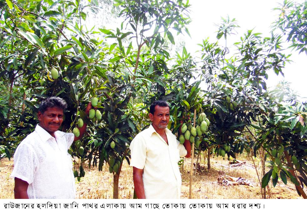 Raozan mango garden pic