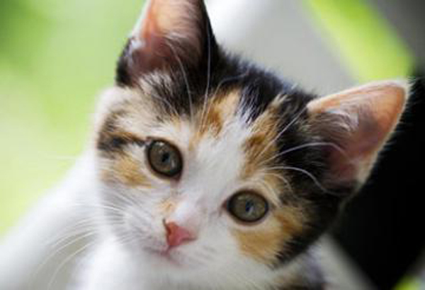 51bffec3a3818-young-calico-cat