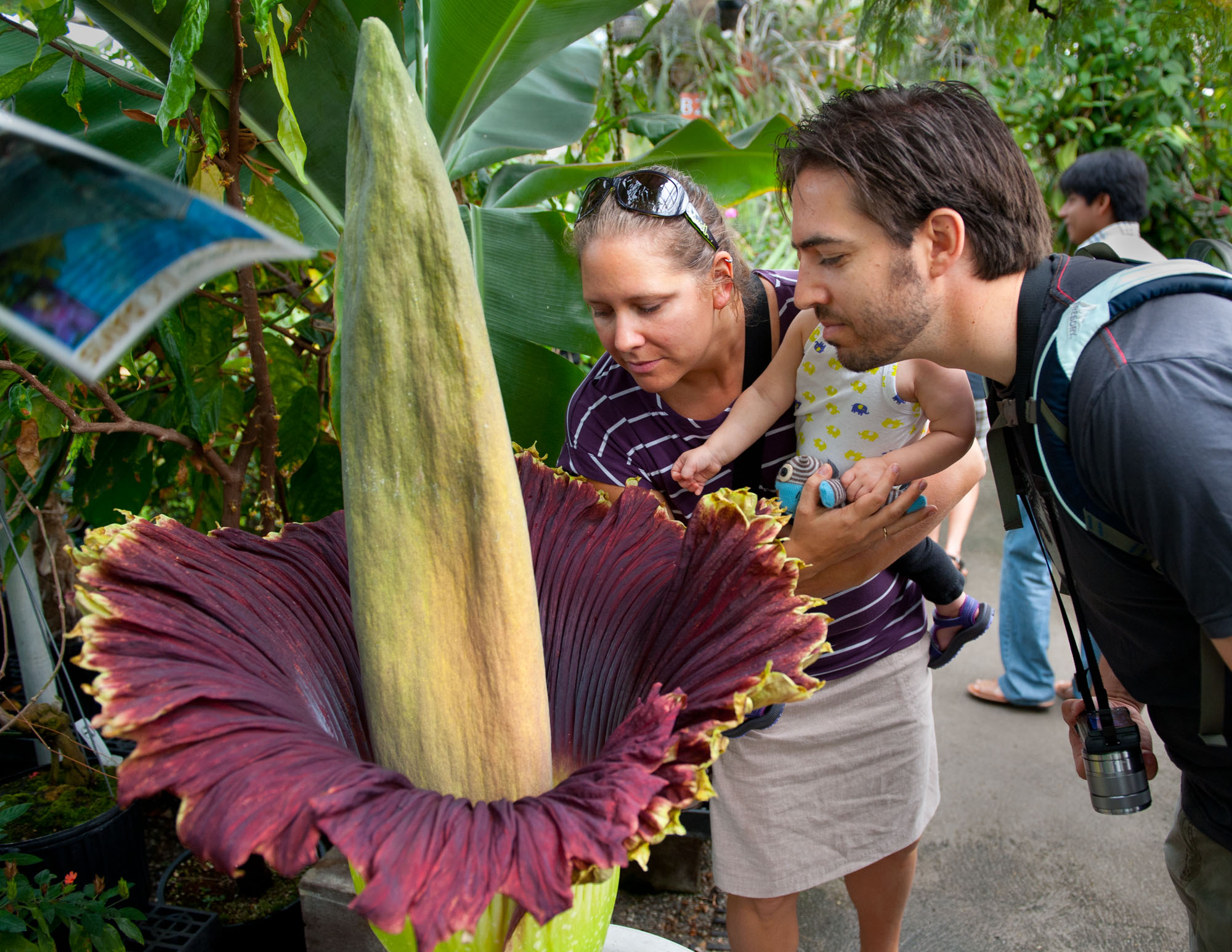 ORG XMIT: CASAB301 Leia Matern,left, of Woodland, Calif, her husband Philip, and their 15-month-old daughter Matilda, smell 17-year-old Tammy the Titan corpse flower that is in bloom at the UC Davis Botanical Conservatory, Monday June 18, 2012.(AP Photo/The Sacramento Bee, Randy Pench) MANDATORY CREDIT