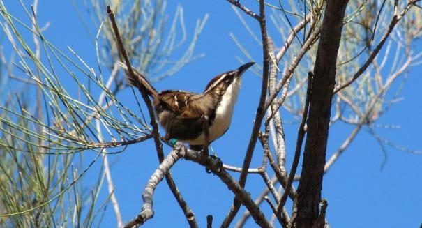 babbler-bird