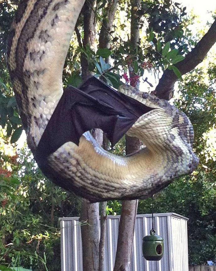 snake-eats-bat