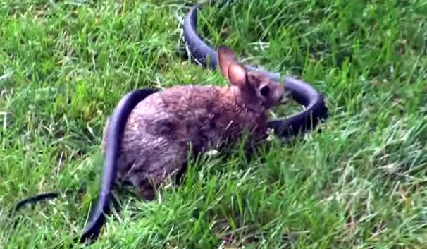 snake-rabbit-fight-video
