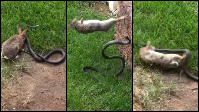 video-rabbit-fights-snake