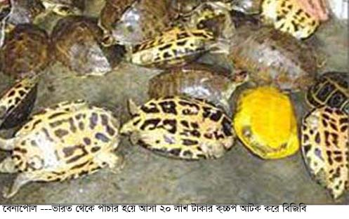Benapole Tortoise  picture ---31.8.15