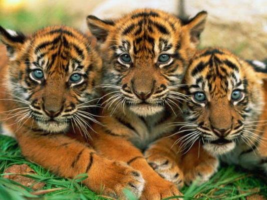 jakia..tiger_78577