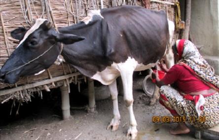 Cow-in-Gondogram