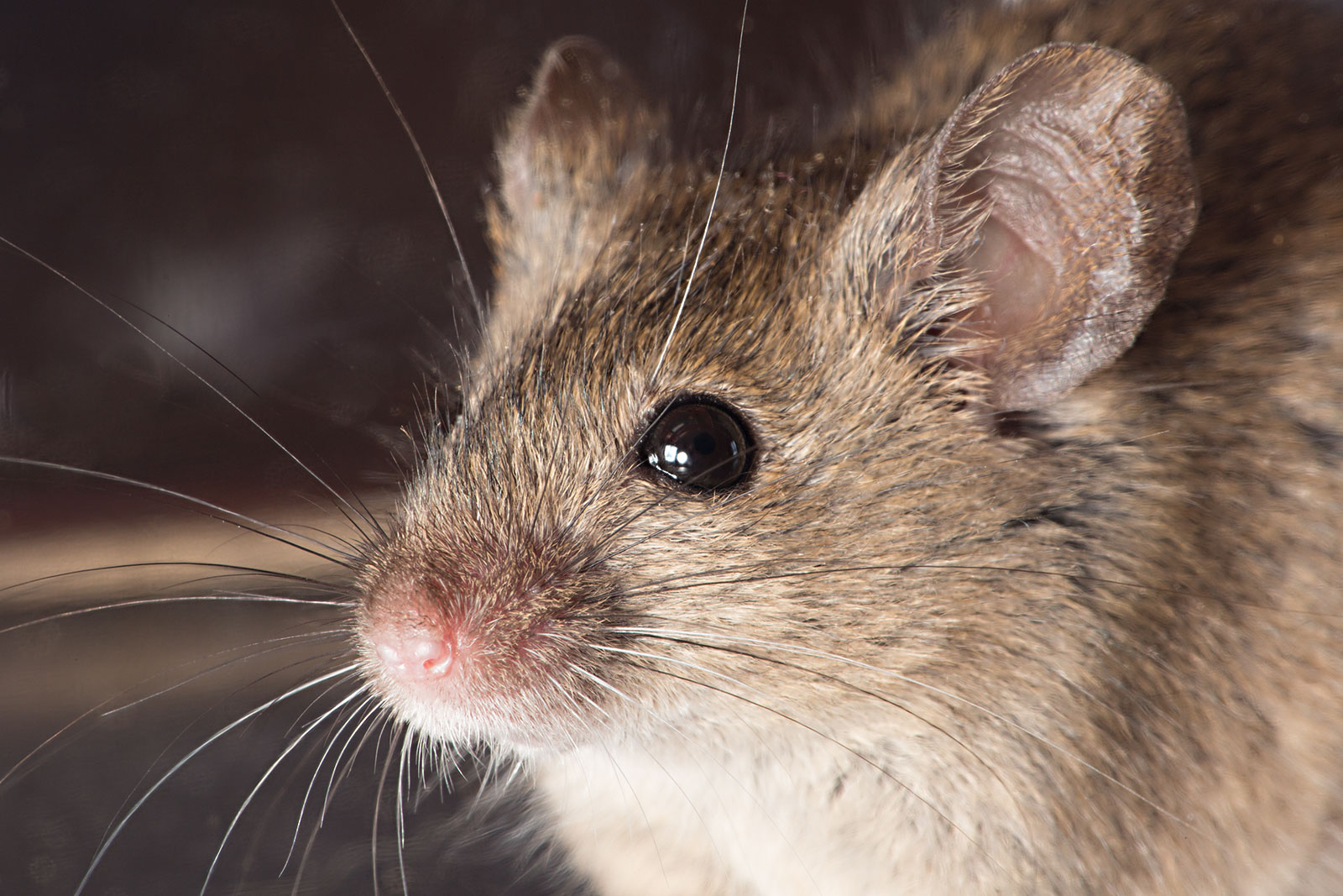 Health-Hazards-of-Mice-in-Homes