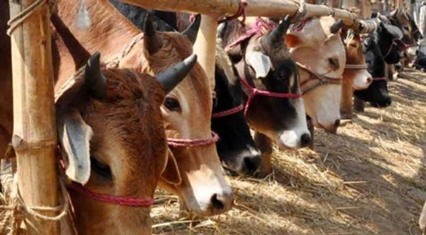 cows-600x331