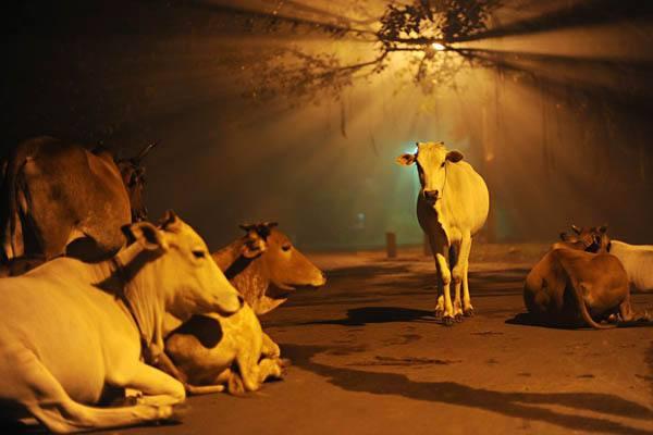 image_269822.cows-india-diwali_48268_990x742