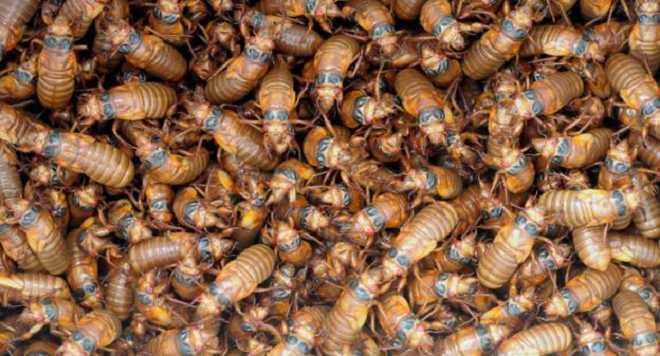 periodical cicadas  2_84797_1.png