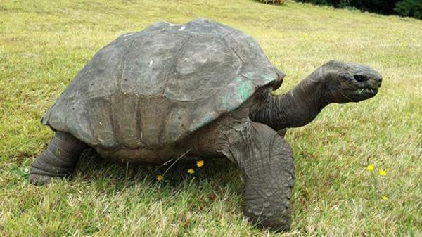 qq1lb-tortoise-1900-2