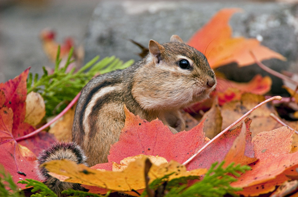 Eastern Chipmunk (Tamias striatus) with bulging cheeks filled with seeds, amongst Autumn Leaves, Michigan, USA