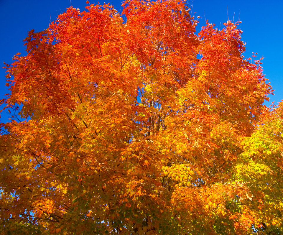 Orange Maple Tree