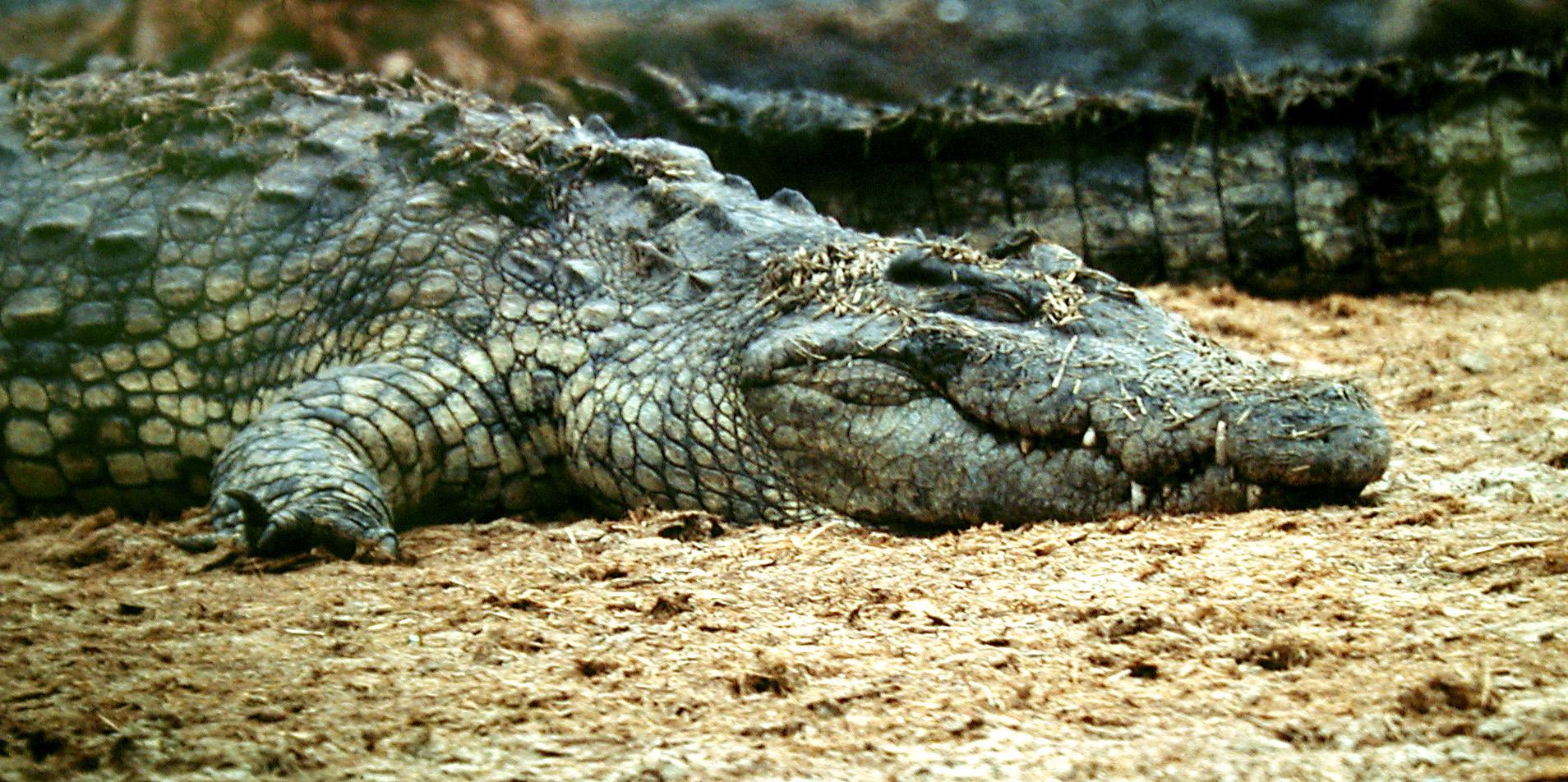 Crocodiles of the Serengeti sleeping.