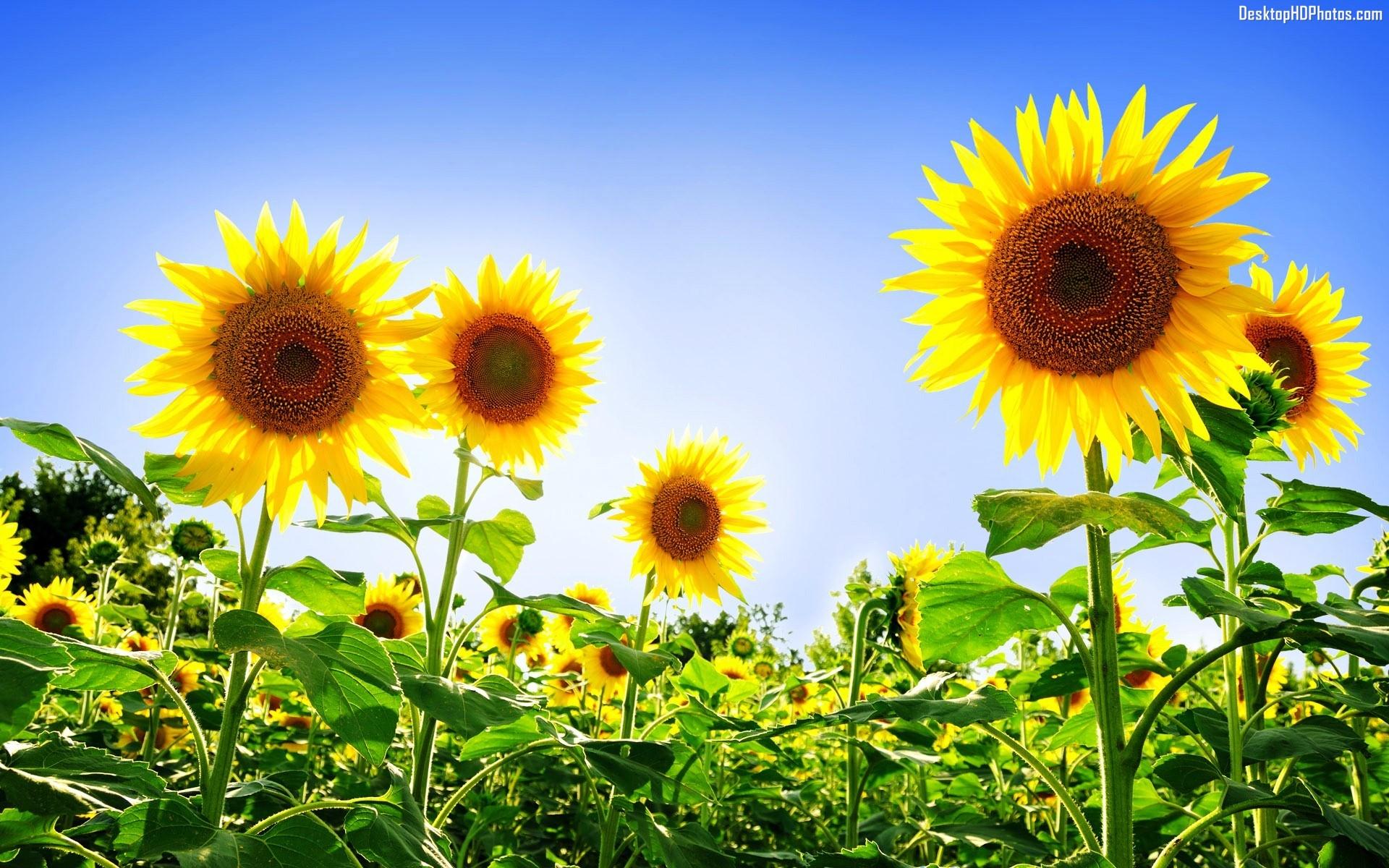 Sunflower-Photography