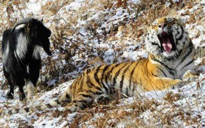 Tiger-Goat1448875635