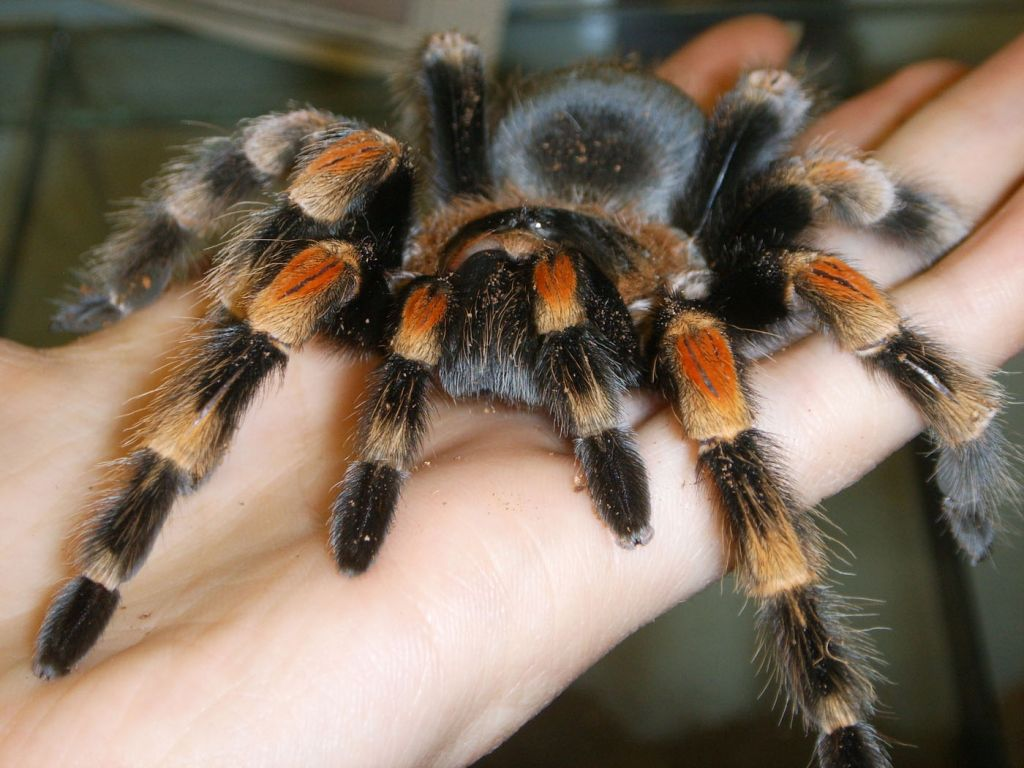 five-important-questions-to-consider-if-you-are-interested-in-keeping-a-tarantula-519337e5ebedb