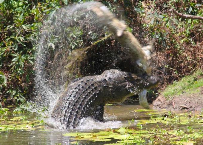 Crocodile-(1)