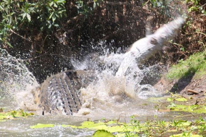 Crocodile (3)