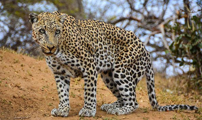 Leopard-jaws tiger