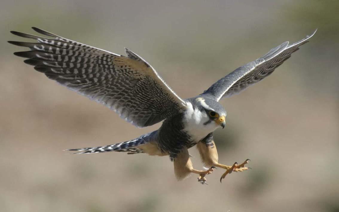 Peregrine-falcon-talons