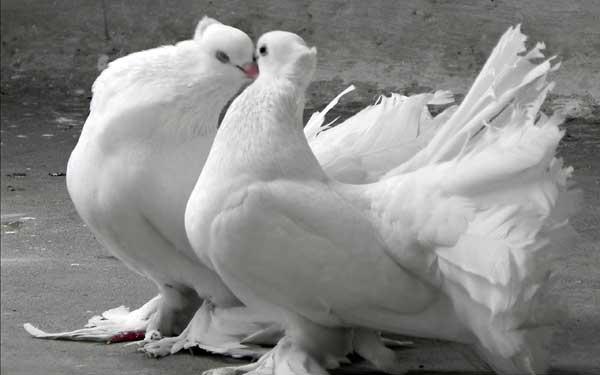 Fancy-Pigeon-Bird-Wallpaper