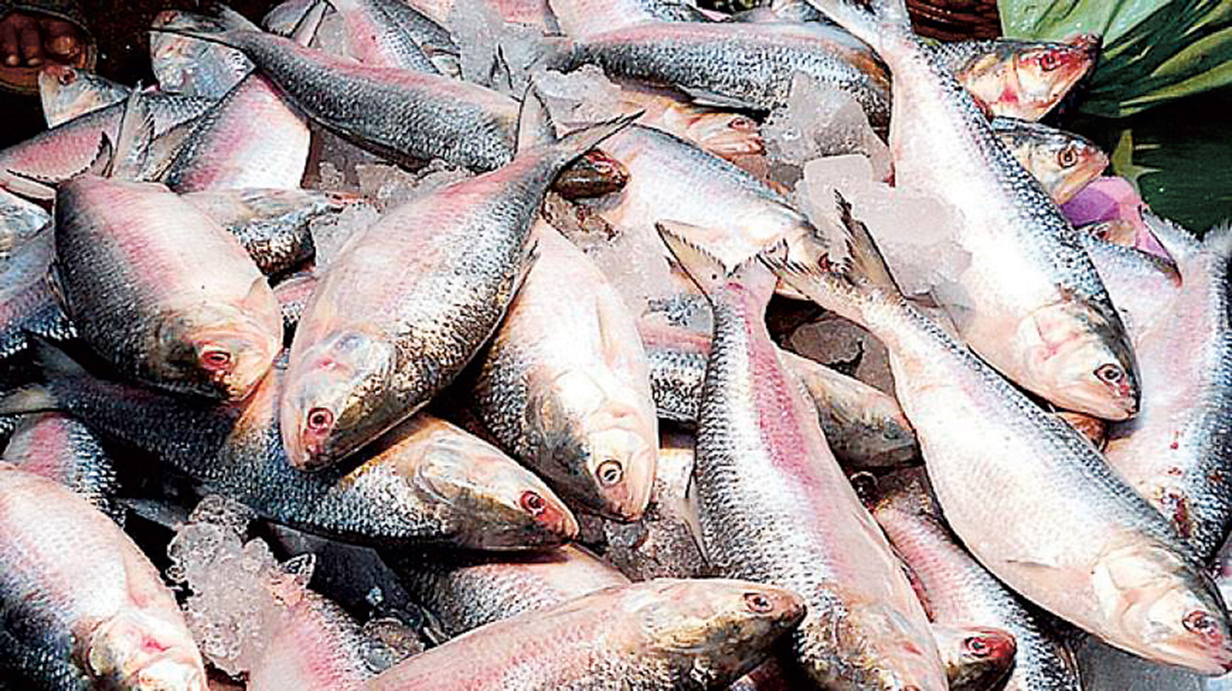 Hilsa