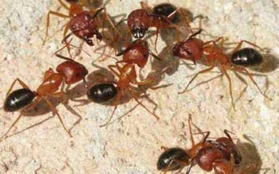 big-ants1453711385