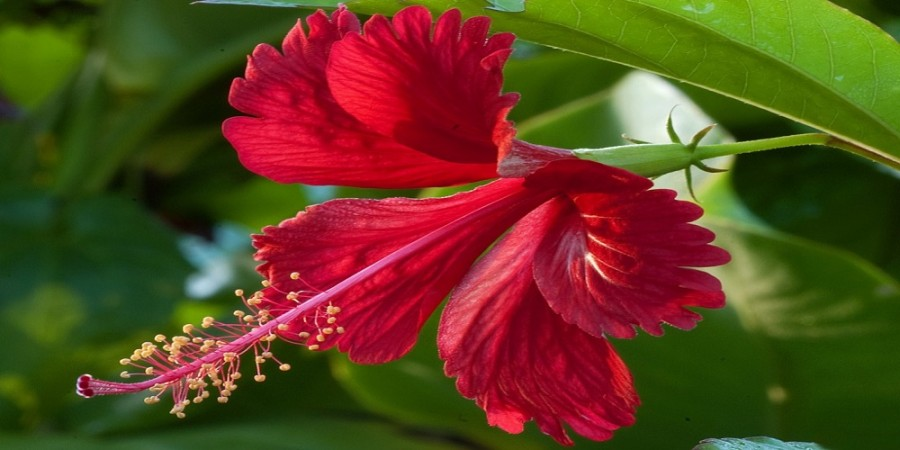 12-beauty-and-health-uses-of-hibiscus-flower