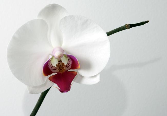 1454320178-Phalaenopsis_Orchid-3