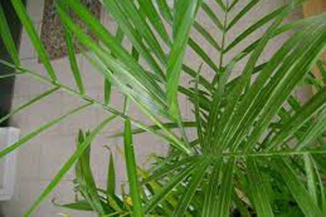 1454320419-bamboo-plam-2