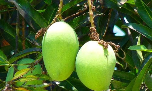 5-health-benefits-of-green-mango