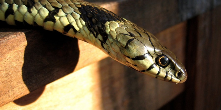 Grass_snake_on_table