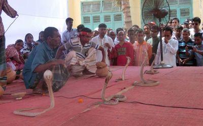 Jhenidah-snake1460706407