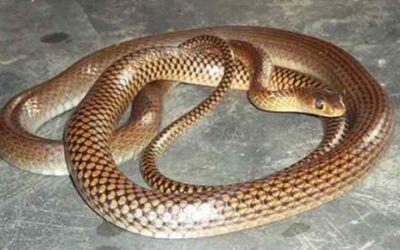 Snake1461733196