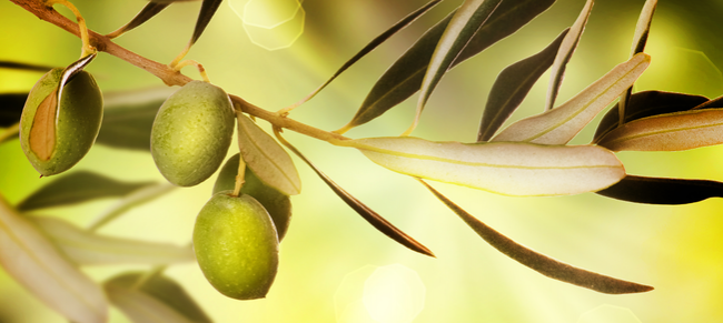 The-Olive-Tree-Header_article_image