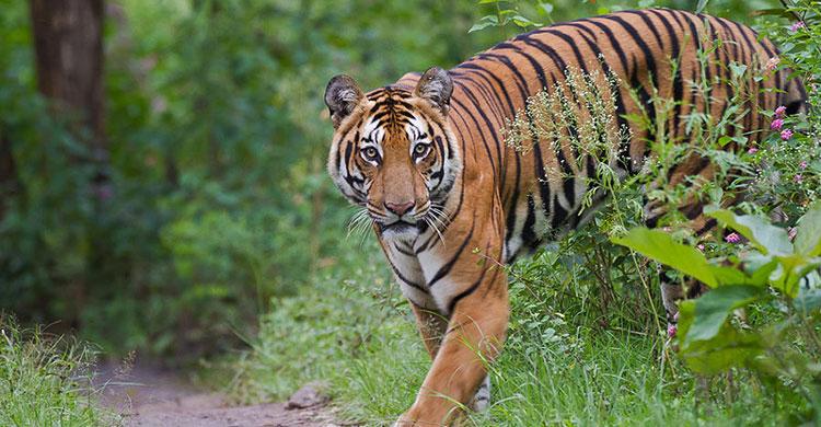 Tiger-120160529134529