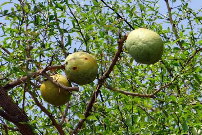 aegle-marmelos-golden-apple-bael