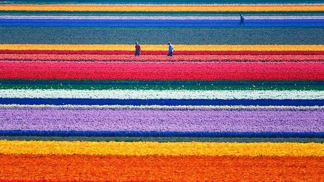 tulip-fields-9