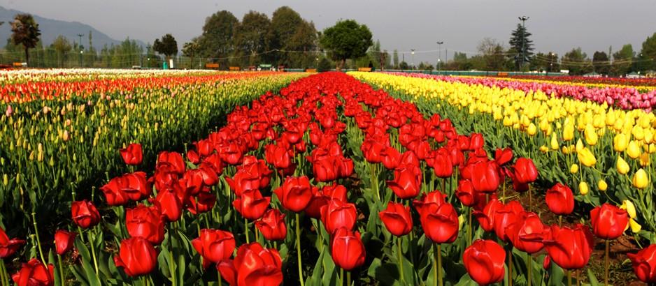 tulipgarden_19_39_kashmir_938_410