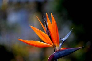 bird-of-paradise-300x200