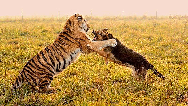 jakia..tiger_115450