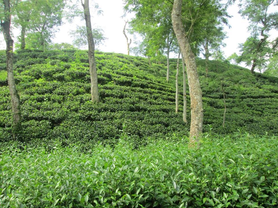 Tea garden kalapur