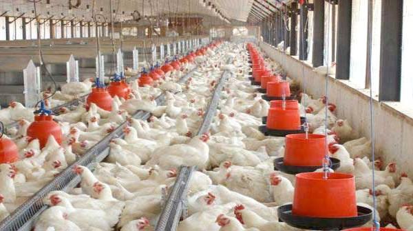chicken_breeding_farm_in_africa-600x335