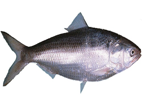 over-hilsa-eating-harms