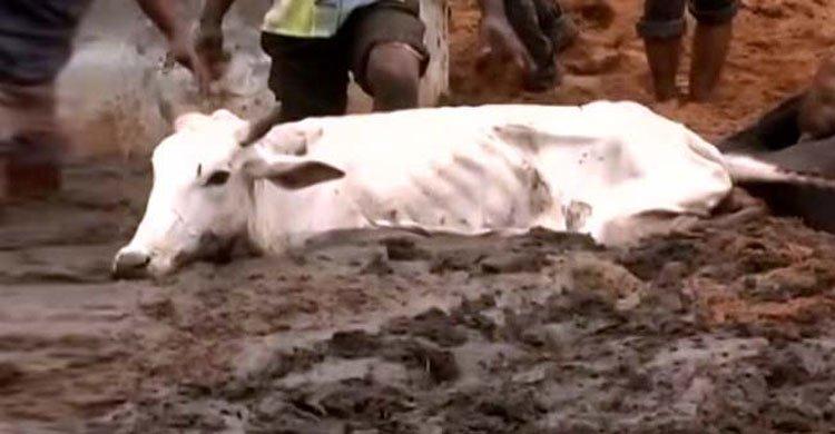 rajasthan-cow20160806163859