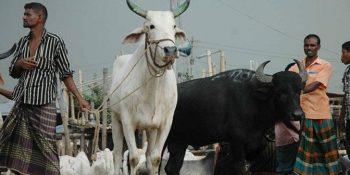 Healthy-Animal-for-Qurbani-696x336