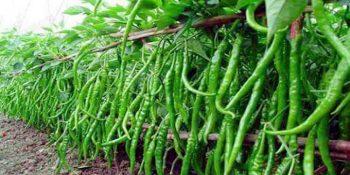rangamati-ambiya-green-chil20161019122221