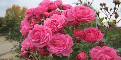 rose-jug_28824_1477538144